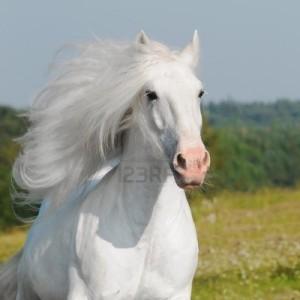 white-horse-runs-gallop