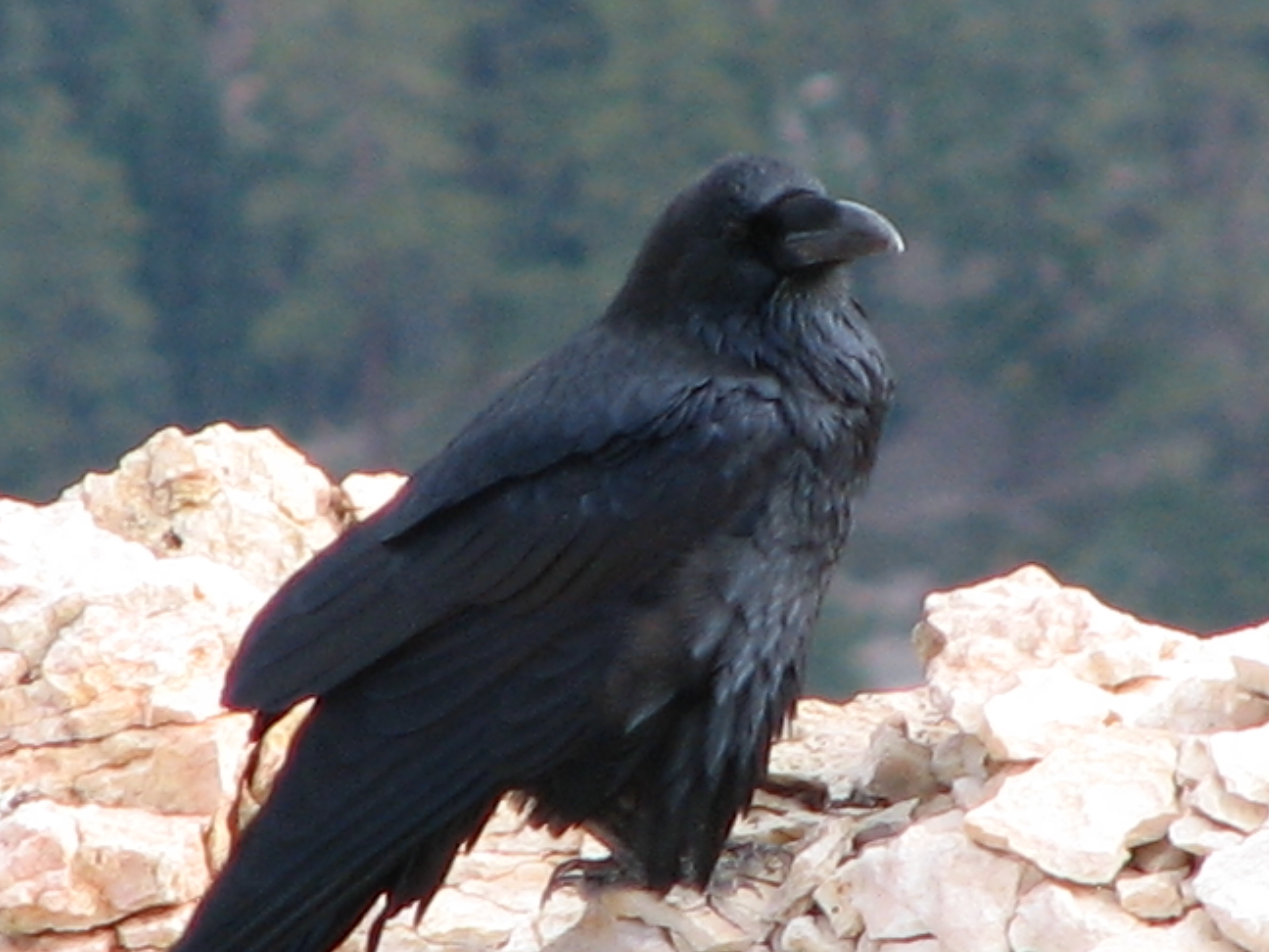 Raven Jack