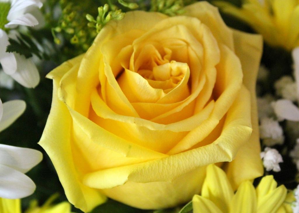 Velvet Rose (1024x730)