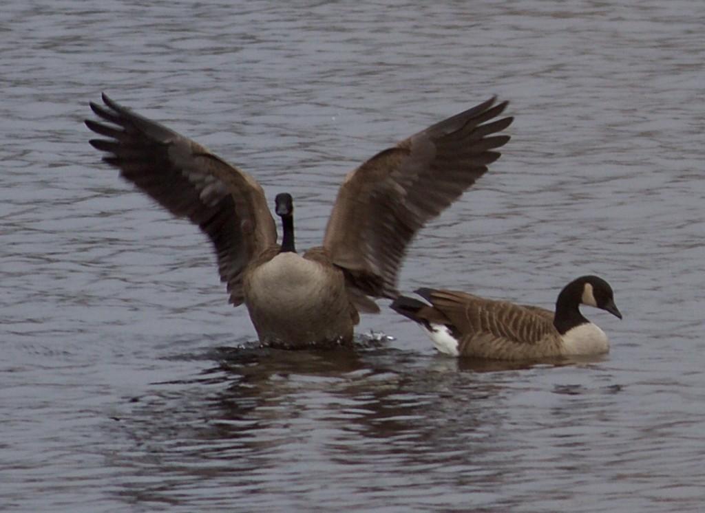 jack goose 6